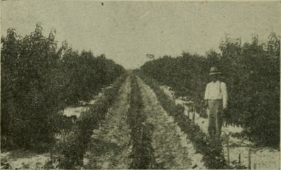 Archival black and white photo showing a farmer standing by rows of tomato plants, with apple trees on either side.