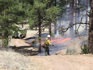 Firefighter looking back to a surface fire under a pine canopy, surrounded by smoke.