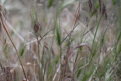 Cheatgrass seedheads in the foreground, mixed with medusahead spikes.