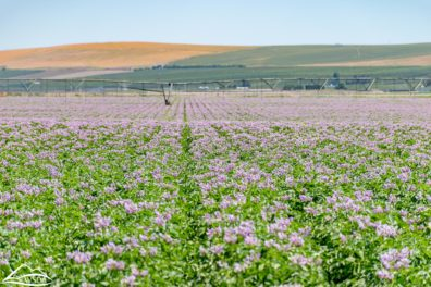 Flowering potato field, with center pivot in the backgorund