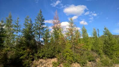 Grouping of coniferous trees, with a larch in the center showing rust-colored needles.