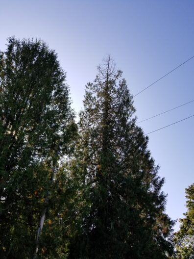 Tops of two conifer trees, one showing dead branches at the very top, with green canopy below