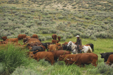 Cowboy herding cattle at the edge of shrub steppe vegetation