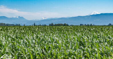 A green corn field, with mountains in the background
