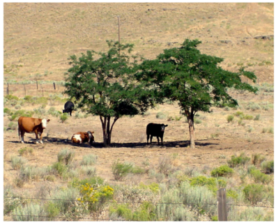 Cattle in the shade of two small trees surrounded by open rangeland