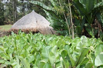 Rural Sidama home behind enset field