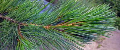 Closeup of branch with pine needles