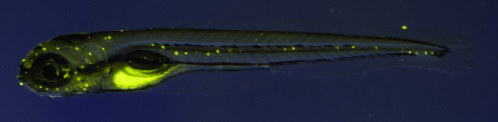 daspei-labeled-larval-zebrafish-1024x252