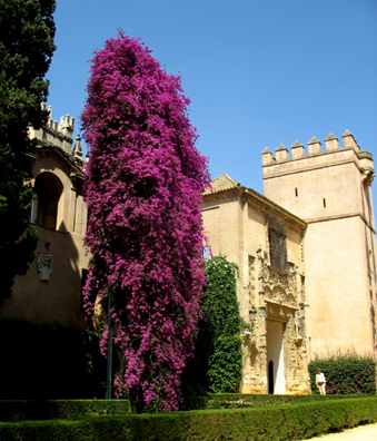 SEVILLA: The original inhabitants would have been amazed by this towering bougainvillea, first brought back from the South Pacific by the French explorer Bougainville in the 18th century.