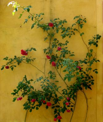 Rosebush in the Alcazar gardens, Sevilla