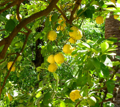 SEVILLA: We saw orange trees everywhere; only here did we see a lemon tree.