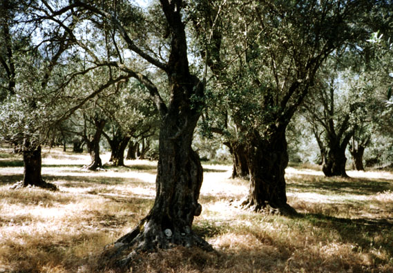 NAXOS: Ancient gnarled olive trees.