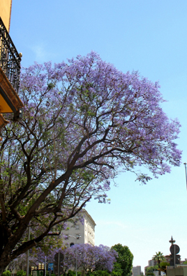 SEVILLA: All over town, jacaranda trees were ablaze with blooms.