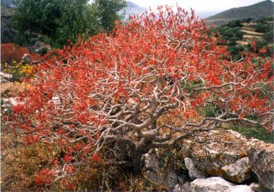 AMORGOS: A bush ablaze with color.