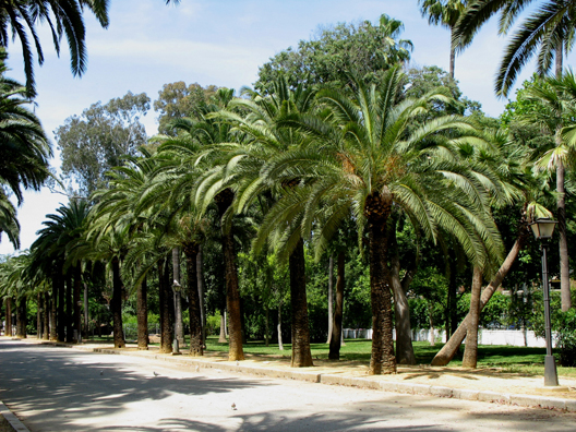 SEVILLA: The Moors planted palms all over southern Spain to remind them of home. They remain the most visible reminder of their presence in the area.