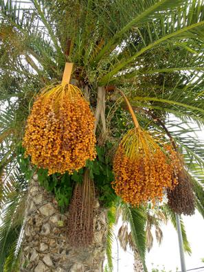VEJER DE LA FRONTERA: Date palms in Vejer.