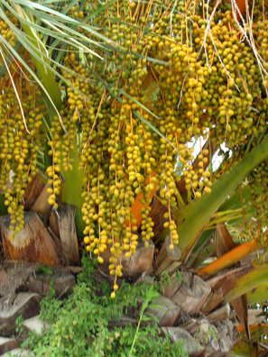 VEJER DE LA FRONTERA: Different angle of the Date Palms.