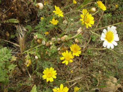 VEJER DE LA FRONTERA: Near windmills. How many snails can munch on a flower stem?
