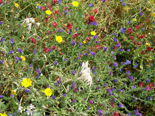 CONIL: The area adjacent to the beach was carpeted with wildflowers.