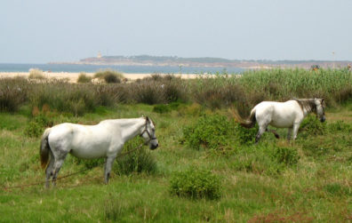 CONIL: A pair of horses grazed among the flowers.