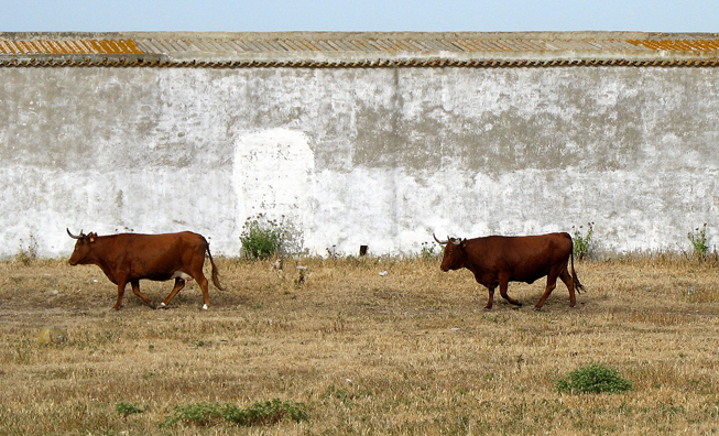 CONIL: There's a cattle ranch near the beginning of the beach.