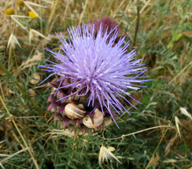 CONIL: I had seen a woman eating a huge plate of snails like these nearby; here they were gathered on a thistle stem under the tower.