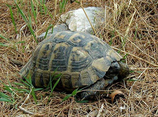 PRIENE: The only sign of life nearby was this handsome tortoise.