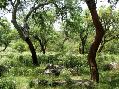 PARQUE NATURAL DE LOS ALCORNOCALES: A bit further on we stopped to explore a cork-oak forest.