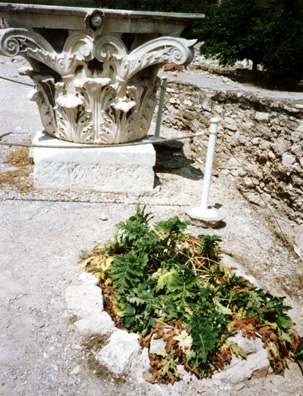 ATHENS: As in the Roman Forum, acanthus is grown so tourists can compare its ornate leaves with the way they are depicted on Corinthian capitols. This particular plant seemed to be a little unhappy in the full sun.