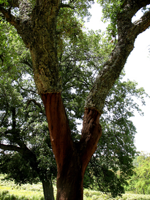 PARQUE NATURAL DE LOS ALCORNOCALES: The lower part of the bark has been peeled away to harvest the cork. Parque natural de los Alcornodales.
