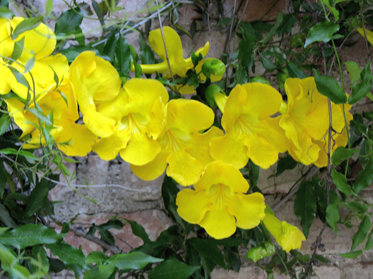 RONDA: Yellow blossoms in the square outside.