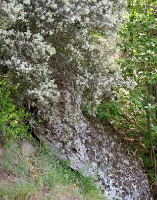 LAS ALPUJARRAS: Flowers cascading down over a lichen-covered rock.