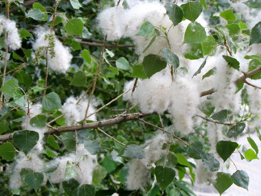 LAS ALPUJARRAS: Cottonwood fluff was blowing around the town.