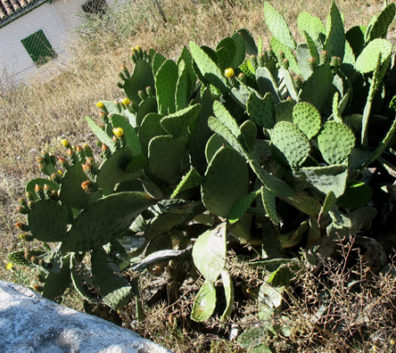 GRANADA: We saw cactus like this in many places, sometimes planted in hedges as a kind of natural barbed-wire fence.