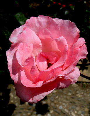 ALHAMBRA: Roses are of course the signature flower of Spain, and there were plenty in bloom here.