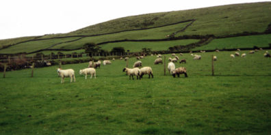 DINGLE BEACH: Our drives through the Irish countryside left us deeply moved by the intensely vivid quilt of green marked off into patches by hedgerows. In Dingle we arrived at our bed and breakfast place to find that next door was this sheep pasture.