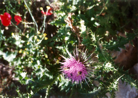 MYCENAE: Bees on a thistle: a prickly combination!