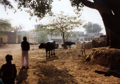 Village cattle are taken into the city every day to graze and at sunset wander back to their owners to be led back home. In no other country are cattle led into town to be fed; pious Hindus feel an obligation to offer the cows food.