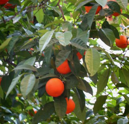 CARMONA: Orange trees in the churchyard of the Iglesia de Santa Mar'a la Mayor, Carmona.