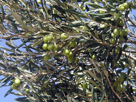 TROY: Near the site of Troy I snapped this shot of olives growing on a tree overhead.