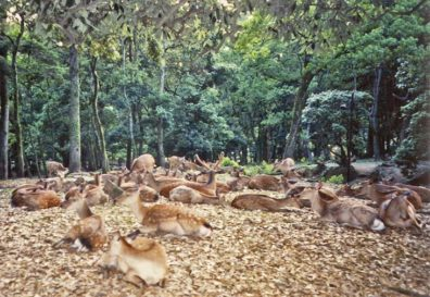 """NARA: Deer in the park bedding down peacefully for the night. These deer are very tame, used to being hand-fed deer """"cookies"""" by tourists."""