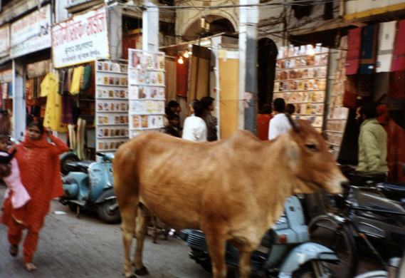 Cows wander unmolested because of the respect in which they are held by Hindus, though many modern Indians resent the traffic tie-ups they cause.