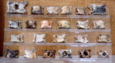 DELPHI: Knuckle-bones used in games. Note how nicely the auto-focus captured the texture of the backcloth (grrr).