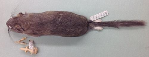 Bushy-tailed Woodrat skin and skull