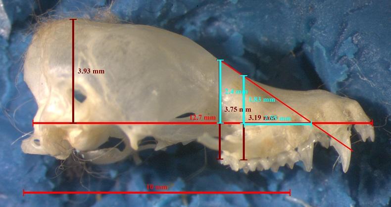 California Myotis cranium