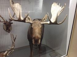 Moose mount