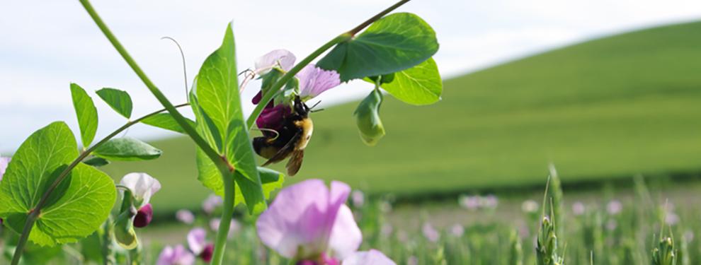 bumblebee on sweetpeas in field