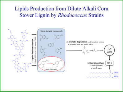 Lipids Production from Dilute Alkali Corn Stover Lignin