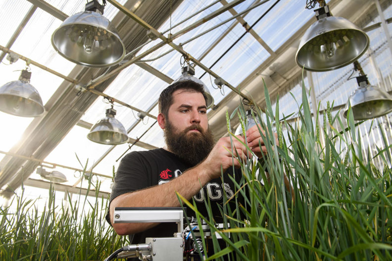 Graduate student testing wheat in a green house