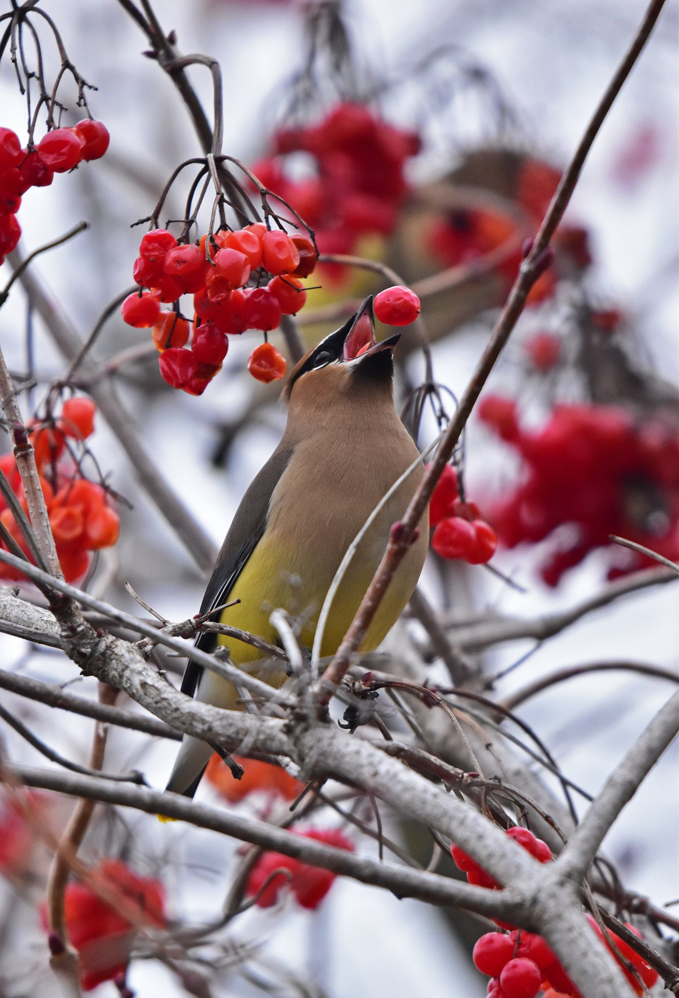 Cullen Anderson's first-place photo of the Cedar Waxwing